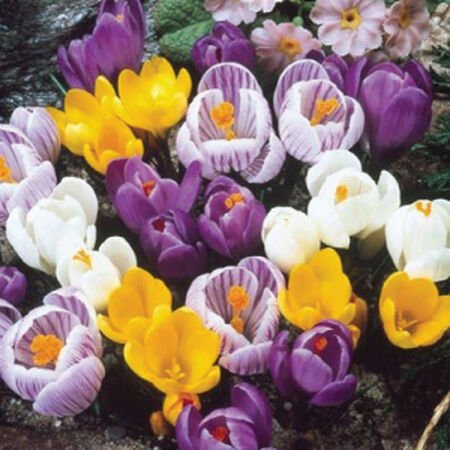 Large Flowering Mix, Crocus image number null