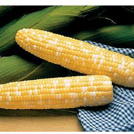 Serendipity, (F1) Corn Seed