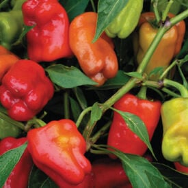 Cajun Belle, Pepper Seeds
