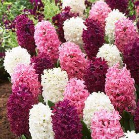 Mixture the Pinks, Hyacinth Bulbs