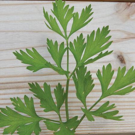 Italian Plain Leaf, Parsley Seeds - Packet image number null