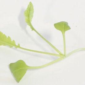 Minowase Daikon Radish, Microgreen Seeds