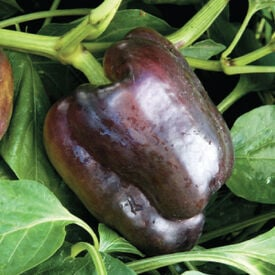 Merlot, Pepper Seeds