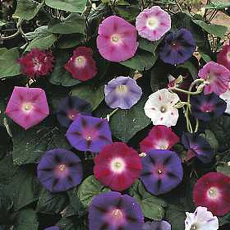 Tall Mix, Morning Glory Seeds - Packet image number null