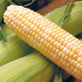 Sweet G90, (F1) Corn Seed
