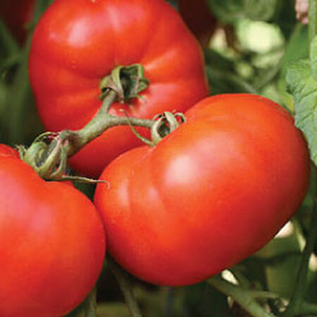 Early Girl, (F1) Tomato Seeds image number null