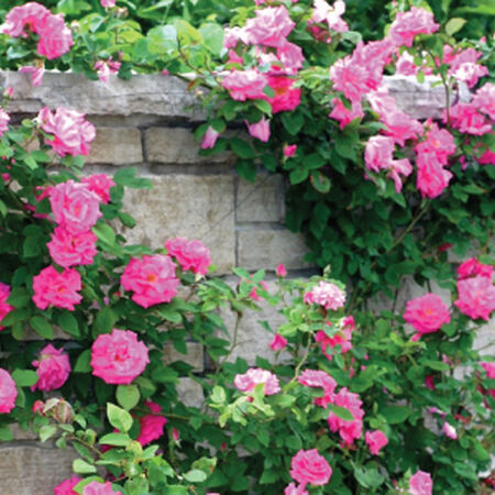 Pink Climbing, Rose Seeds - Packet image number null