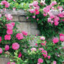 Pink Climbing, Rose Seeds - Packet thumbnail number null