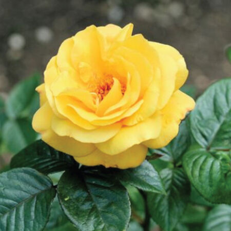Yellow Bush, Rose Seeds - Packet image number null