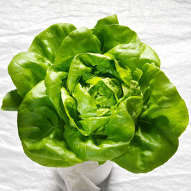 Butter King, Lettuce Seeds