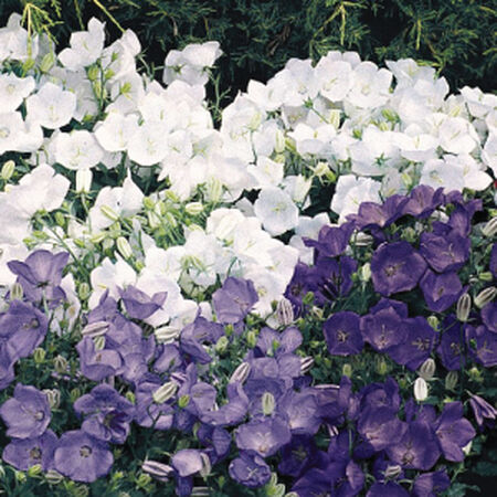 Carpatica Clip Mix, Campanula Seeds image number null