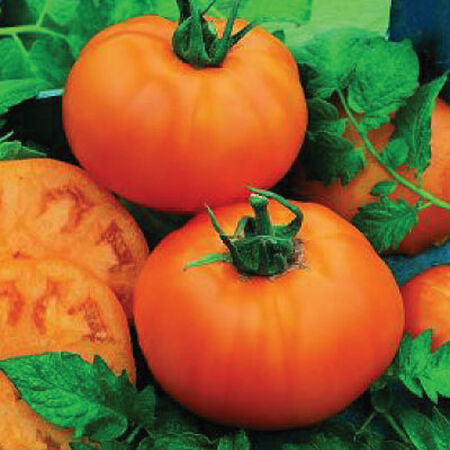 Chef's Choice Orange, (F1) Tomato Seeds image number null