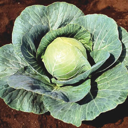 Stonehead, (F1) Cabbage Seeds image number null
