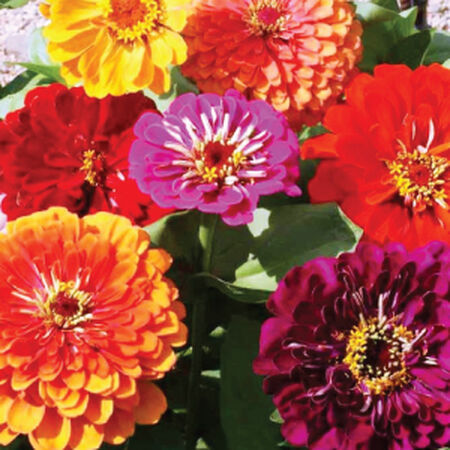 California Giant, Zinnia Seeds - Packet image number null