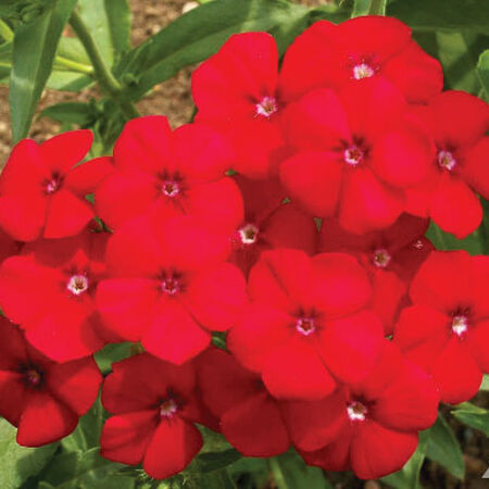 Red Annual, Phlox Seeds - Packet image number null