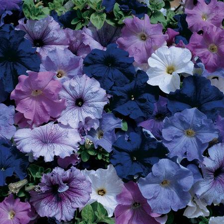 Aladdin Mix, Petunia Seeds image number null