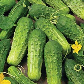 Boston Pickling, Cucumber Seeds