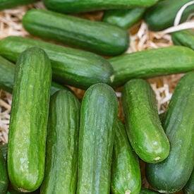 Muncher, Organic Cucumber Seeds