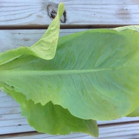 Winter Density, Lettuce Seeds
