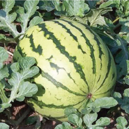 Dixie Queen, Watermelon Seeds - Packet image number null