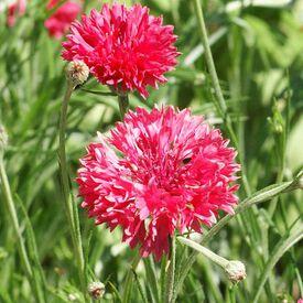 Tall Red, Cornflower Seeds