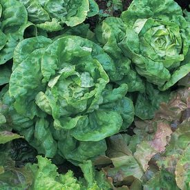 All The Year Round, Lettuce Seeds