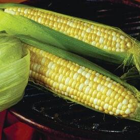 Trinity, (F1) Corn Seed