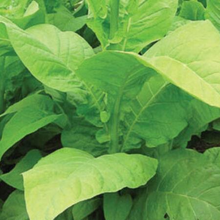Big Gem, Tobacco Seeds - Packet image number null