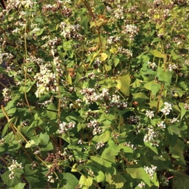 Common Buckwheat, Grains