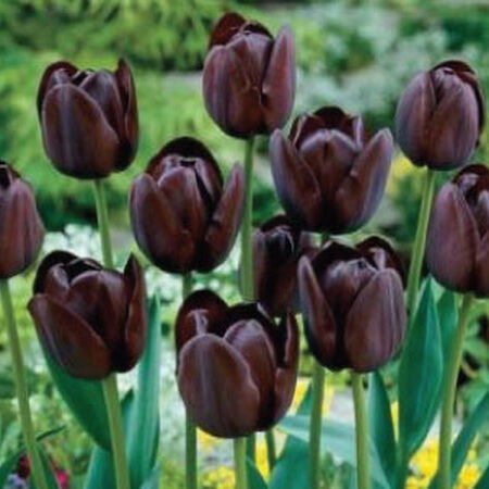 Queen of Night, Container Flowers image number null