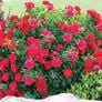 Red Bush, Rose Seeds - Packet thumbnail number null