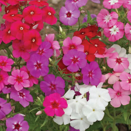 Annual Mix, Phlox Seeds - Packet image number null