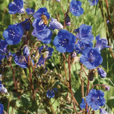 California Bluebell, Campanula Seeds - Packet image number null