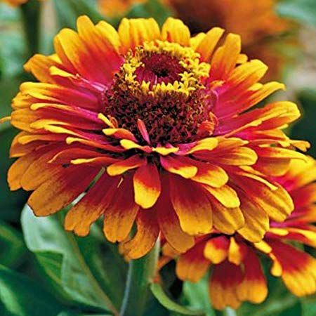 Zowie! Yellow Flame, Zinnia Seeds - Packet image number null
