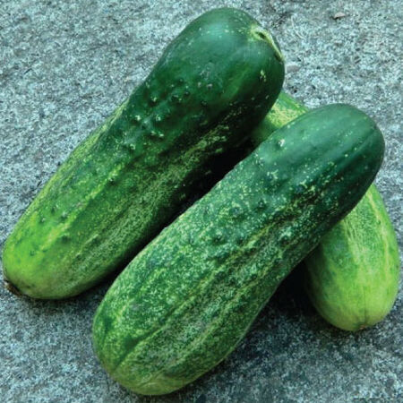 Calypso, Cucumber Seeds - Packet image number null