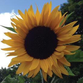 Mammoth Grey Striped, Sunflower Seeds