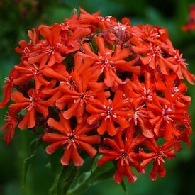 Burning Love, Lychnis Seeds