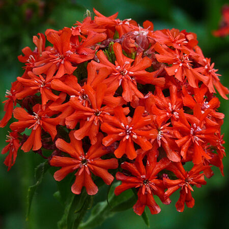 Burning Love, Lychnis Seeds - Packet image number null
