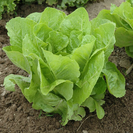 Jericho, Organic Lettuce Seeds - Packet image number null