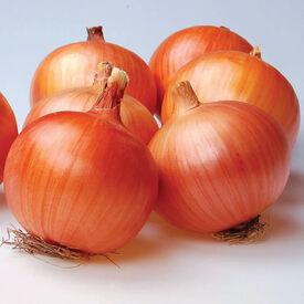 Caliber, (F1) Onion Seeds