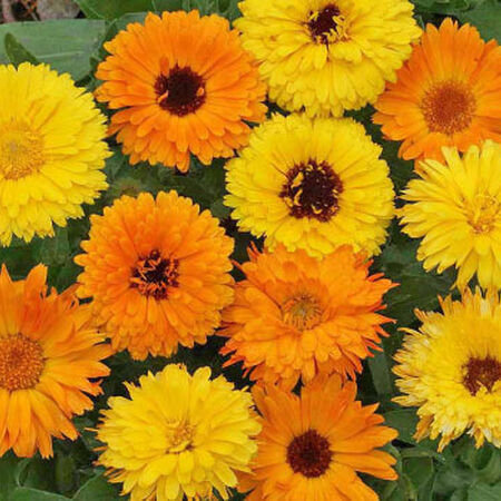 Pacific Beauty Mix, Calendula Seeds - Packet image number null