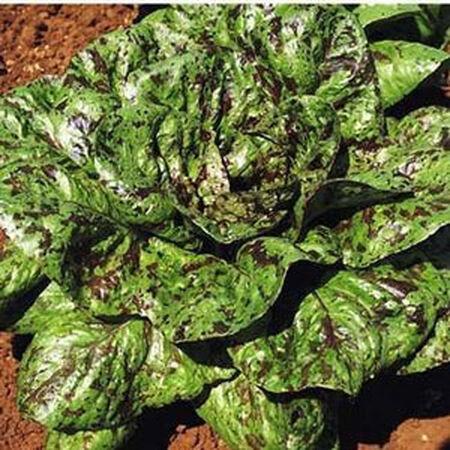 Freckles, Lettuce Seeds - Packet image number null