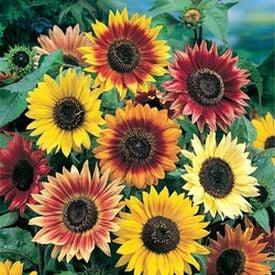Autumn Beauty, Sunflower Seeds