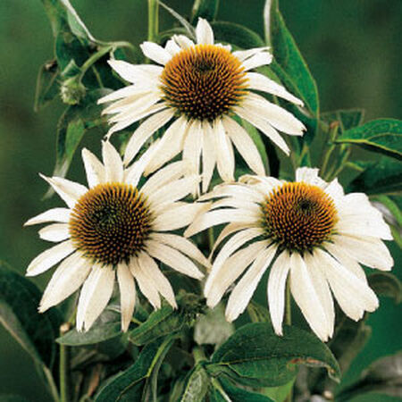 White Swan, Echinacea Seeds - Packet image number null
