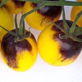 Indigo Sun, (F1) Tomato Seeds