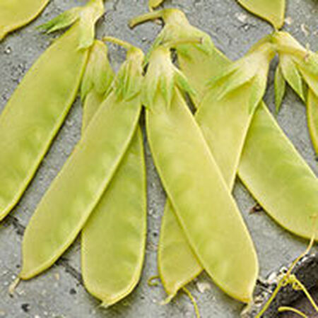 Golden Sweet, Organic Pea Seeds - Packet image number null