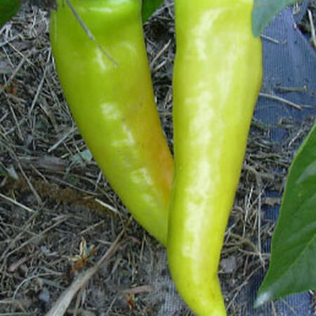 Hungarian Hot Wax, Pepper Seeds - Packet image number null