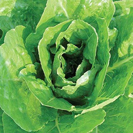 Giant Caesar, Lettuce Seeds image number null