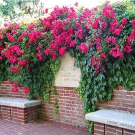 Red Climbing, Rose Seeds