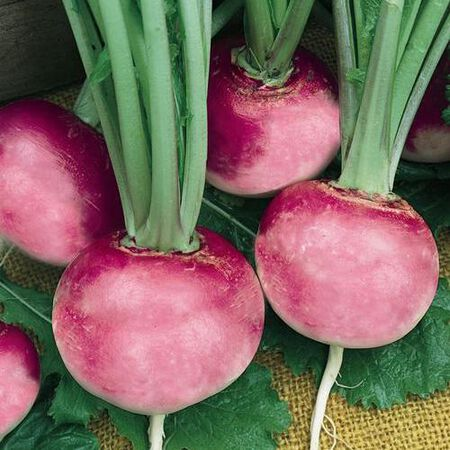 Pink Beauty, Radish Seeds - Packet image number null
